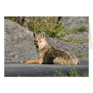 Sunning Coyote Card