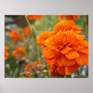 Sunny Marigold Poster