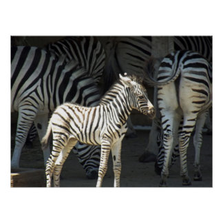 Sunny Zebra Posters