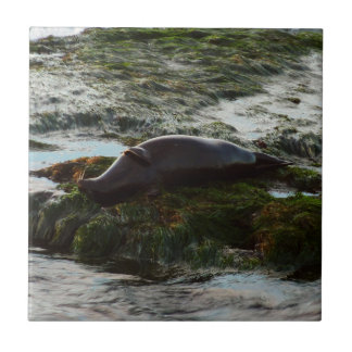 Sunset Lit Harbor Seal II Small Square Tile