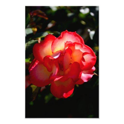 Sunset Rose Photo Print