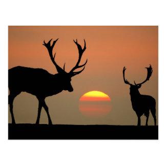Sunset Stags Postcard