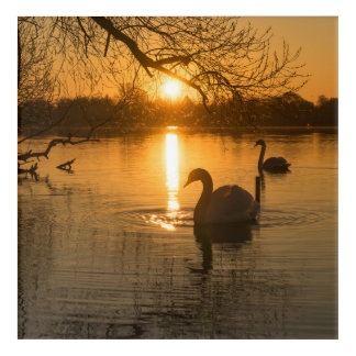Sunset with Swan Acrylic Print