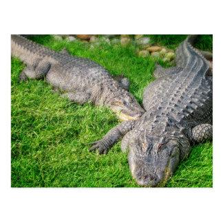 Sunshine Alligators Post Card