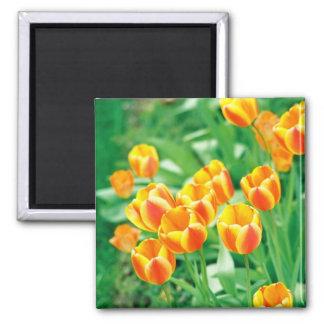 Sunshine tulips square magnet