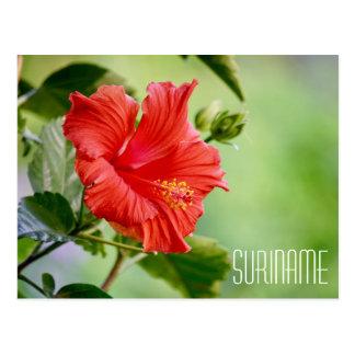 Suriname hibiscus flower postcard