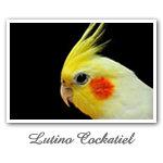 Lutino Cockatiel