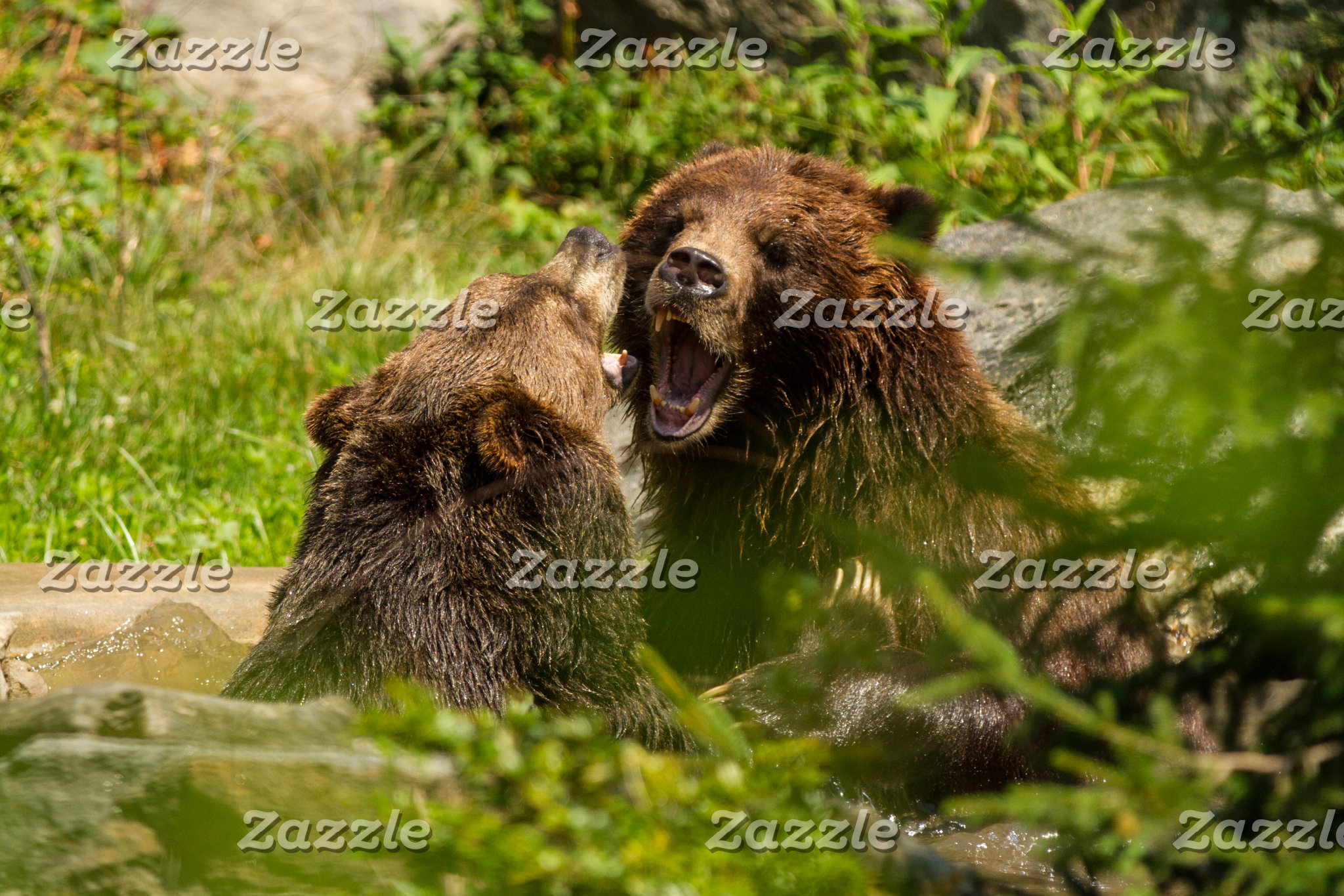 Grizzly Bears Play Fighting