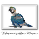 Blue and yellow Macaw 002