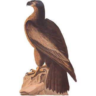 Young Bald Eagle (Plate 11)