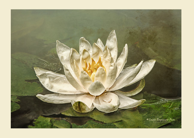 Cream Water Lily