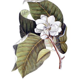 Vintage Magnolias