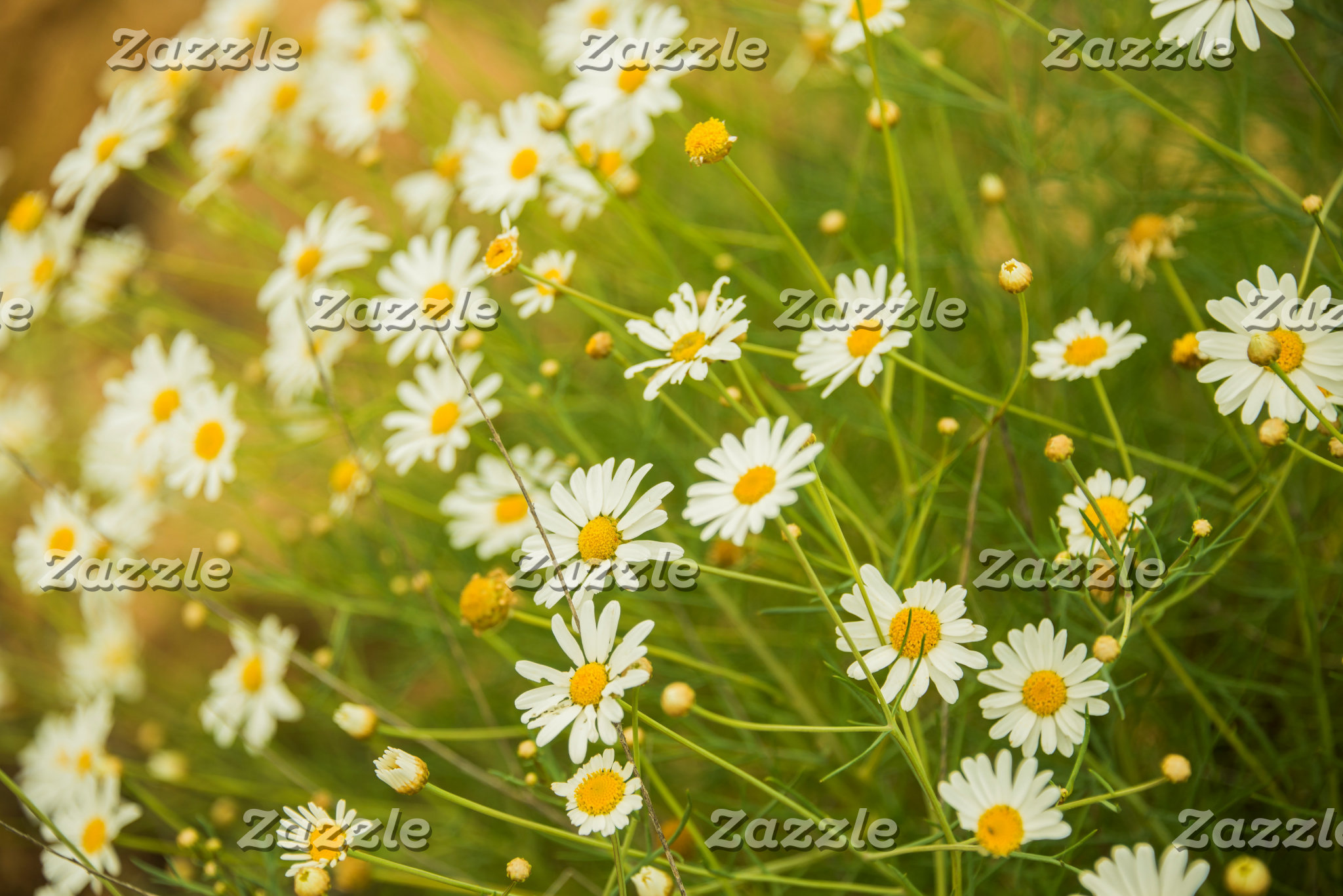 Daisies in a summer meadow