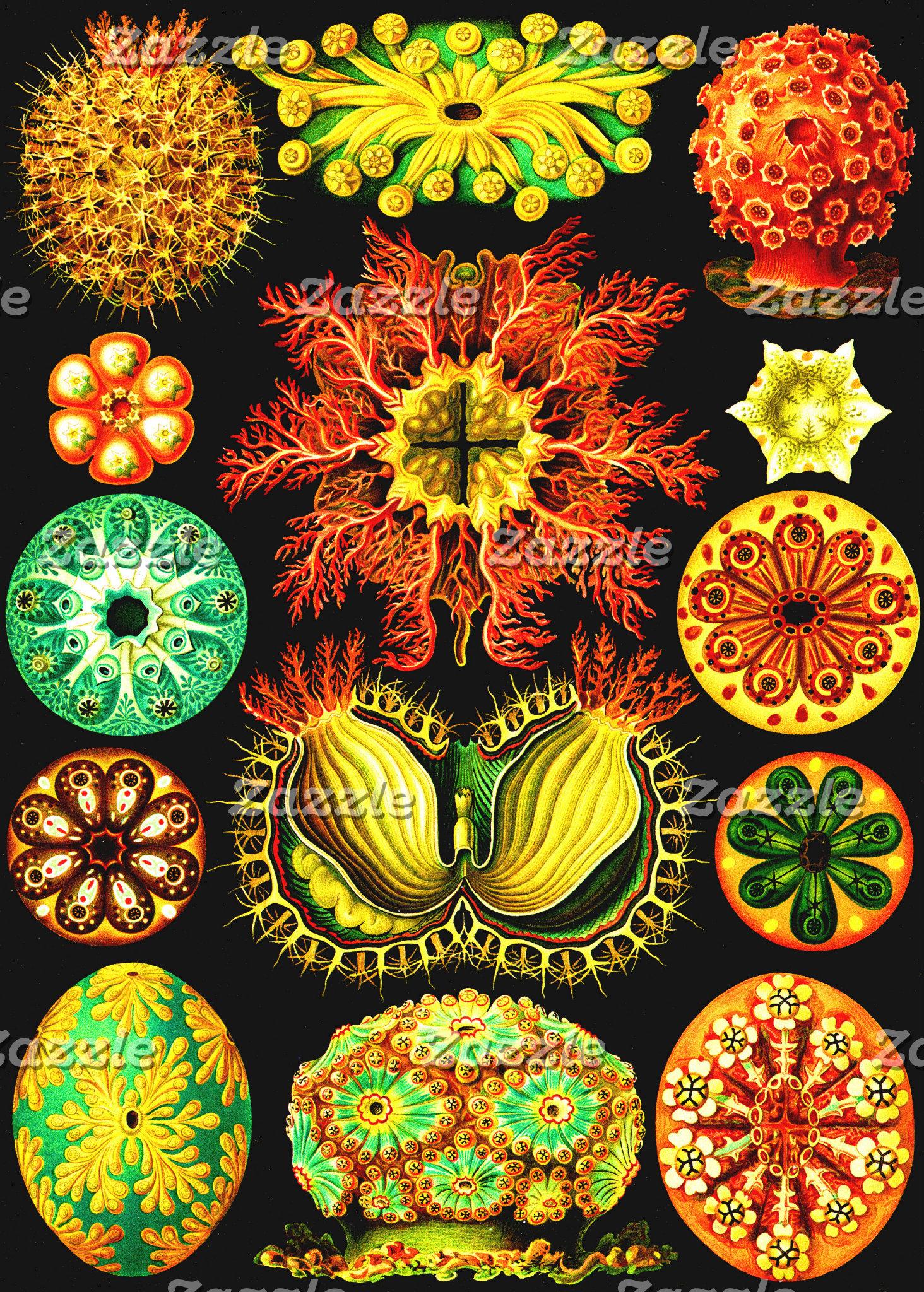 Ernst Haeckel Ascidiae