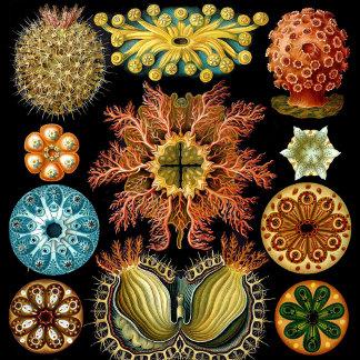 Haeckel