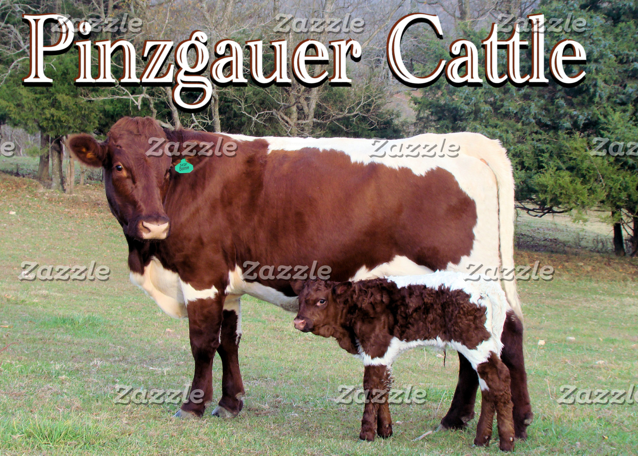 PINZGAUER CATTLE-Cards,& Gifts,