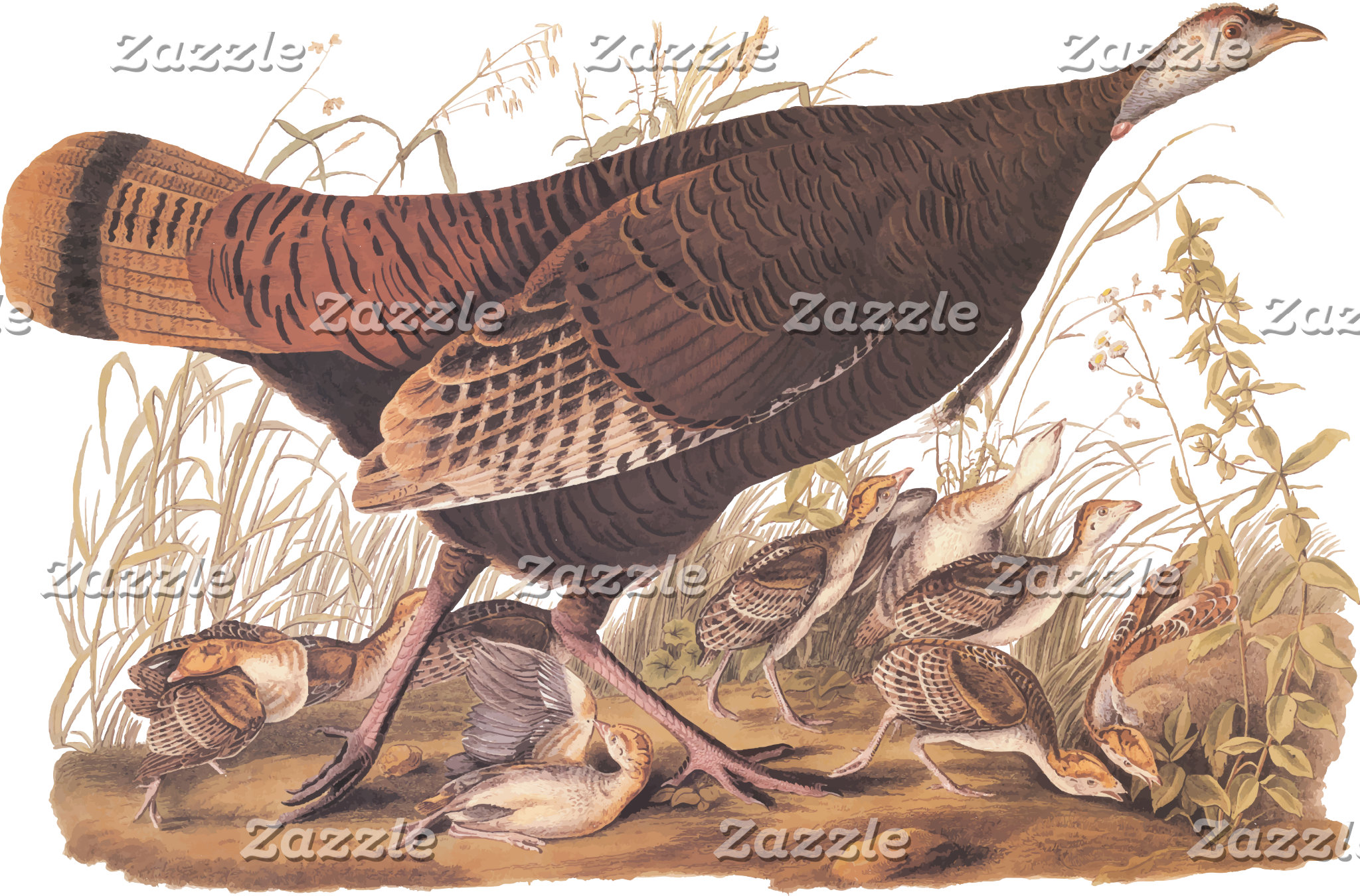 Wild Turkey Hen and Chicks (Plate 6)