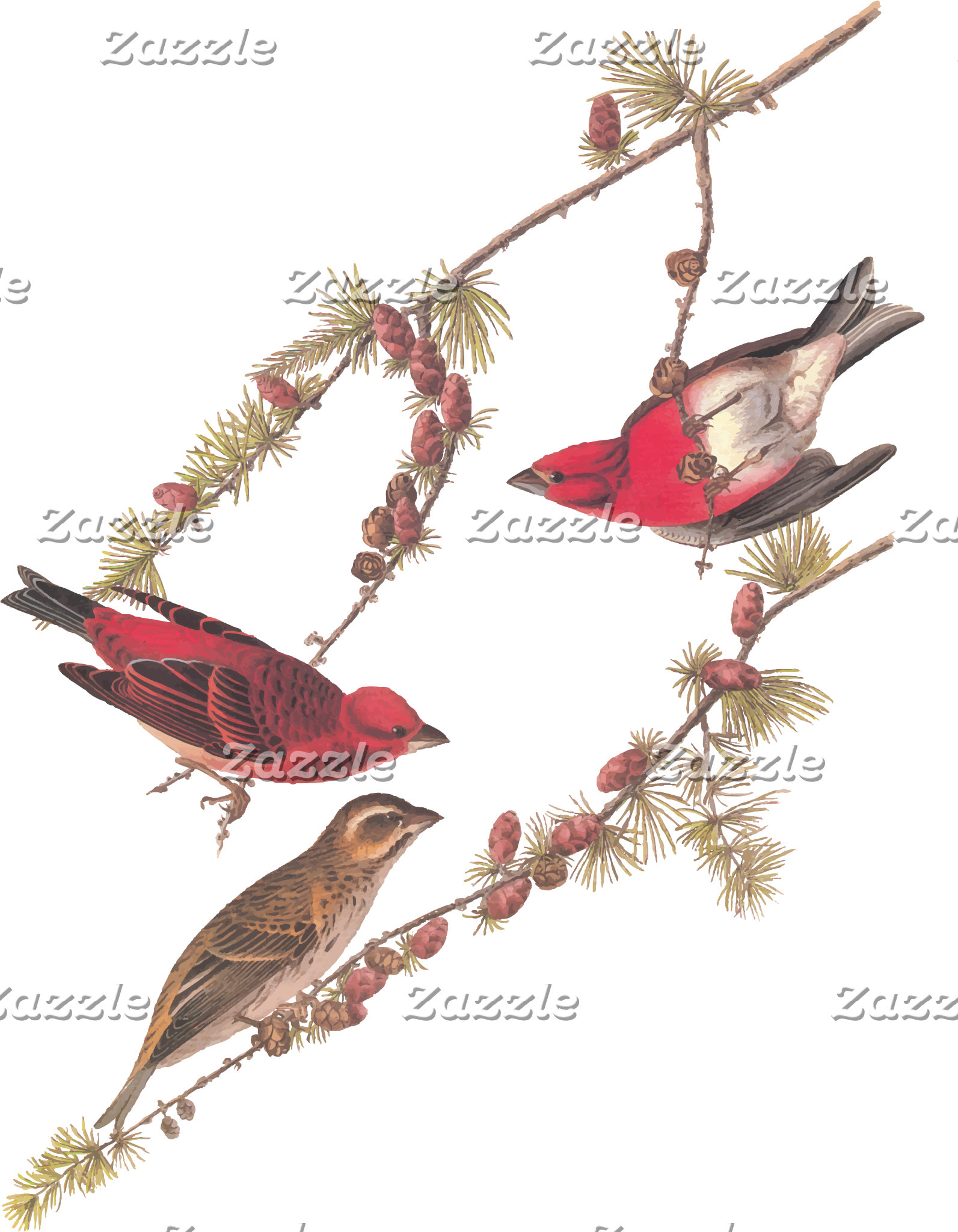 Purple Finch (Plate 4)