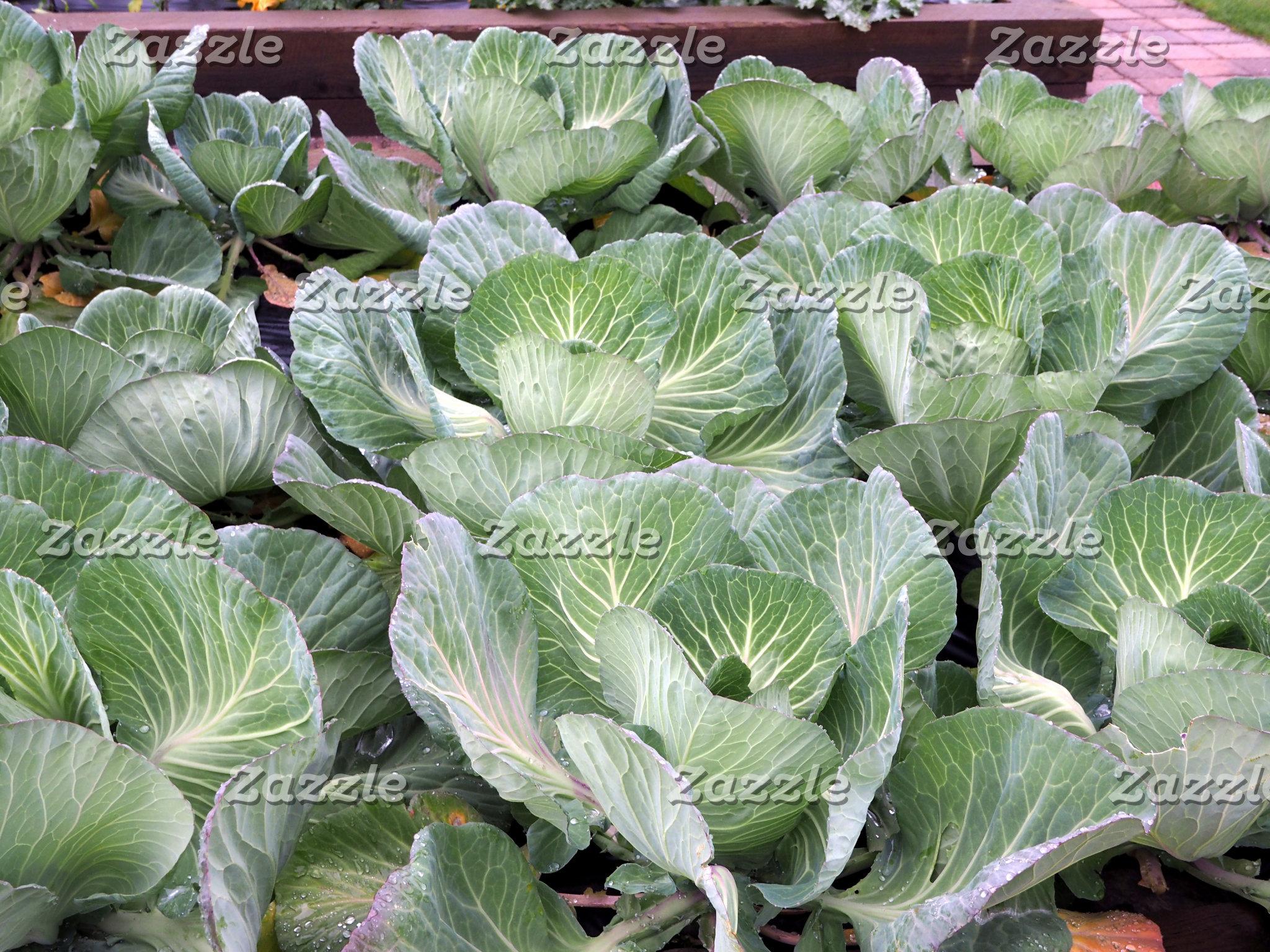 Cabbage 304