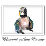 Blue and yellow Macaw 001