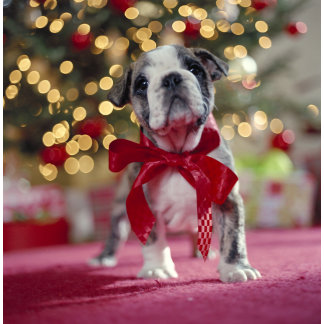 christmas puppy with bow photography