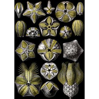Ernst Haeckel Blastoidea