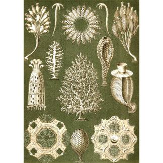 Ernst Haeckel Calcispongiae