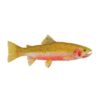 CUTTROAT TROUT