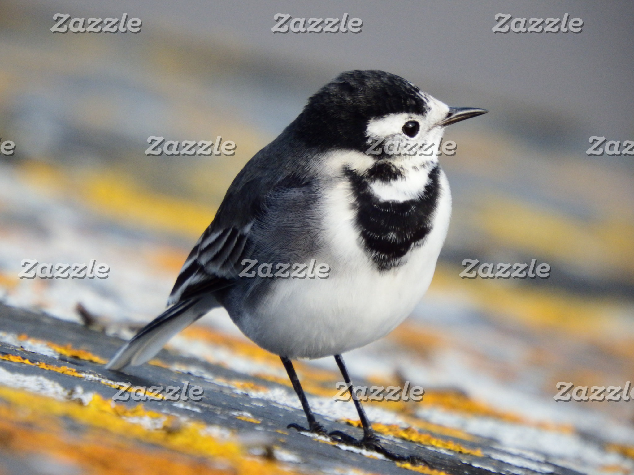 PIED WAGTAILS