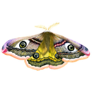 Emperor Hawk Moth Watercolour
