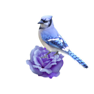 Blue Jay on Rose