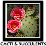 Cactus Cacti and Succulents