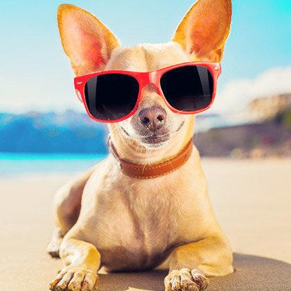 Chihuahua Lovers