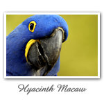 Hyacinth Macaw 001