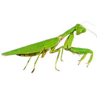 Giant Praying Mantis
