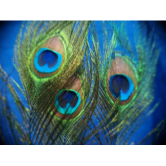 Blue Peacock Feathers