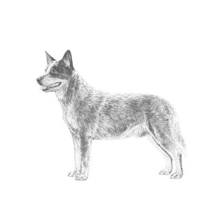 Australian Cattle Dogs