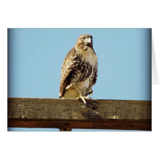 Swainson's Hawk Card