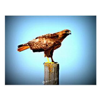 Swainson's Hawk Postcard