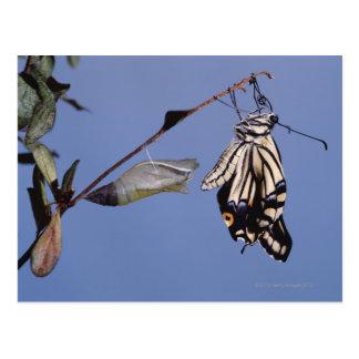 Swallowtail butterfly after metamorphosis postcard