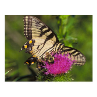 Swallowtail Butterfly and Bee on a Flower. Postcard