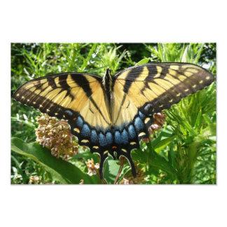 Swallowtail Butterfly II at Shenandoah Photo Print