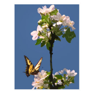 Swallowtail Butterfly on Apple Blossoms Postcards