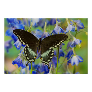 Swallowtail Butterfly on blue Poster