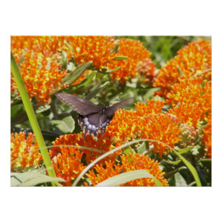 Swallowtail Butterfly on Butterfly Weed x Poster
