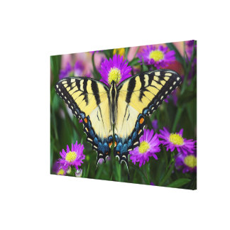 Swallowtail Butterfly on daisy Canvas Print