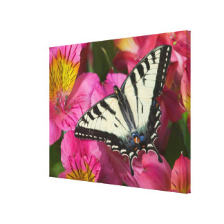 Swallowtail Butterfly on pink Canvas Print