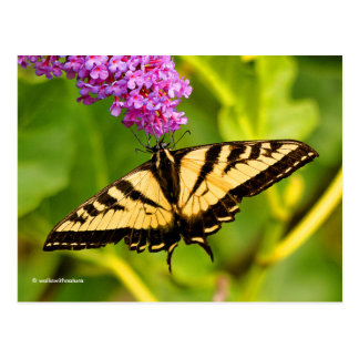 Swallowtail Butterfly on the Butterfly Bush Postcard