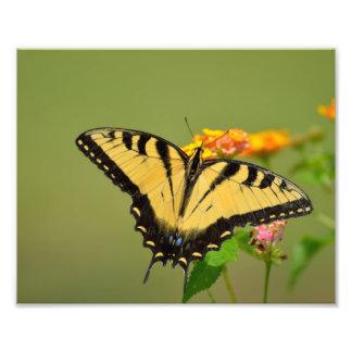 Swallowtail Butterfly Photo Print