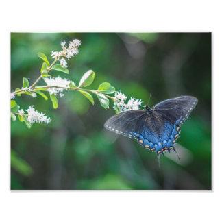 Swallowtail Photo Print
